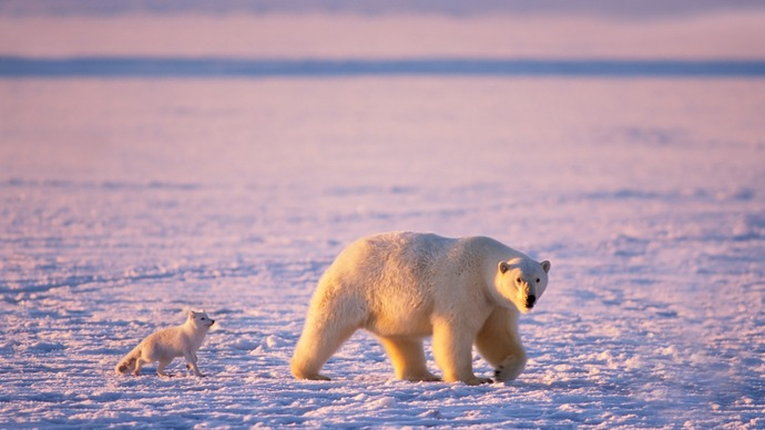 Arctic-animals-polar-bears-and-arctic-foxes_1920x1080