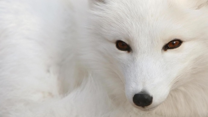 fox-simple-arctic-fox-polar-fox-snow-fox-animals-1080x1920