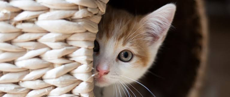 CBD for Cats: Benefits, Side Effects and Uses 8