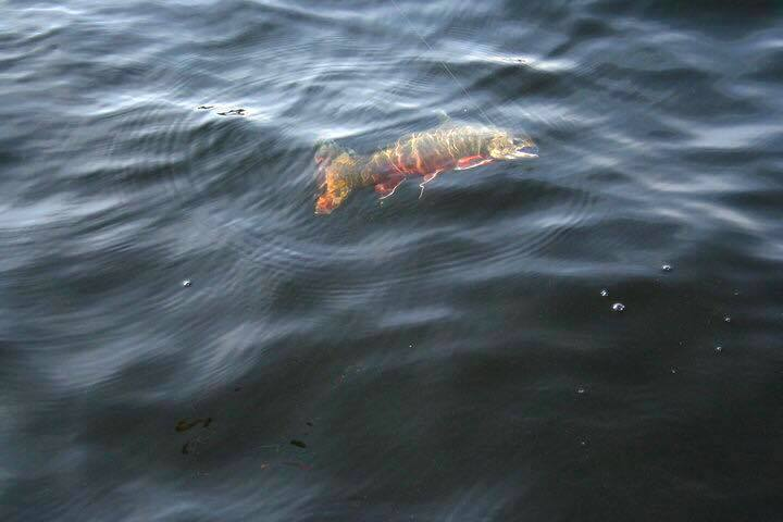En fin fisk på kroken. Foto Urban Dimberg