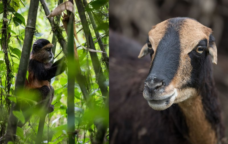 Los gorilas de Ruanda - los-gorilas-de-ruanda-foto11
