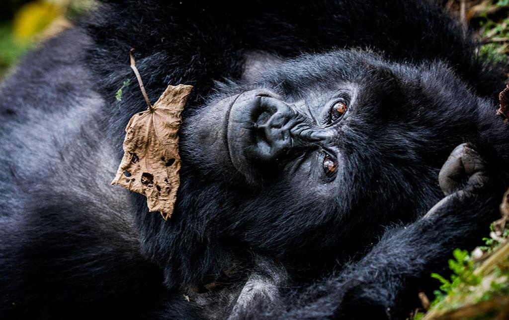 Los gorilas de Ruanda - Los Gorilas de Ruanda -portada