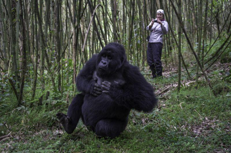 Conoce a los Gorilas de la Montaña en Rwanda - Gorila-de-Rwanda