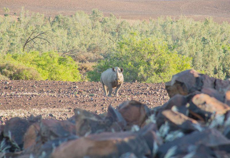 El rinoceronte del desierto - wild_rinoceronte_04