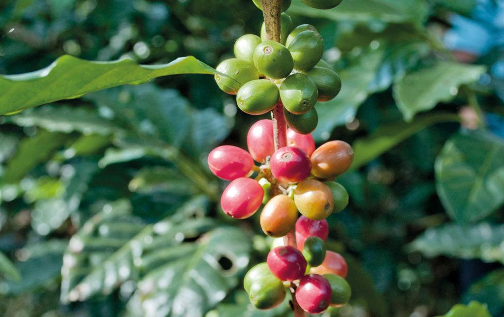 La Industria Cafetalera en México. Certificaciones, especialización y evolución. - PORTADA-cafeto finca