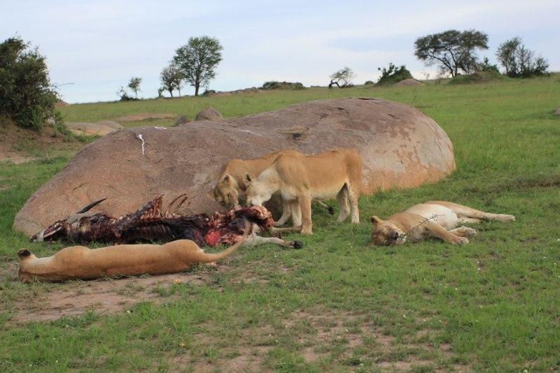 Safaris en Tanzania - Leonas-Serengeti-nov17
