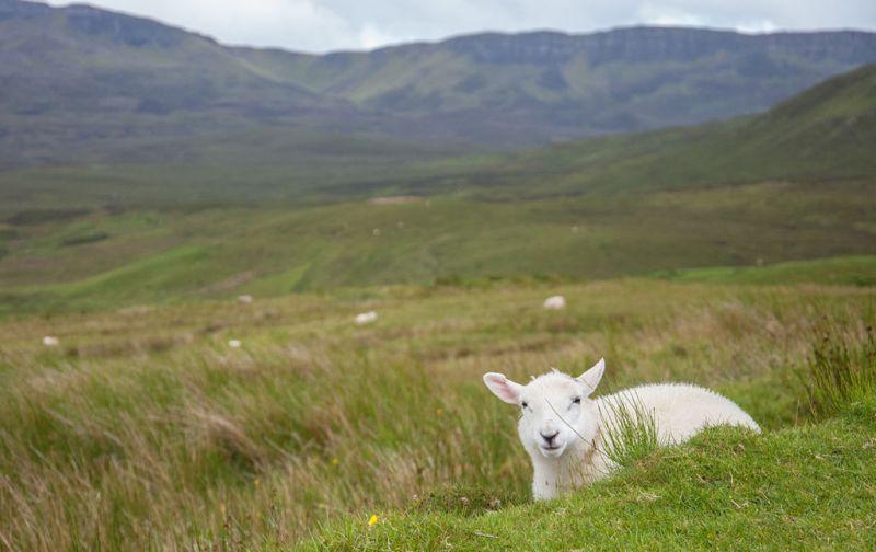 Isle of Skye - lamb