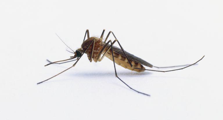 Los animales más peligrosos del mundo - mosquito