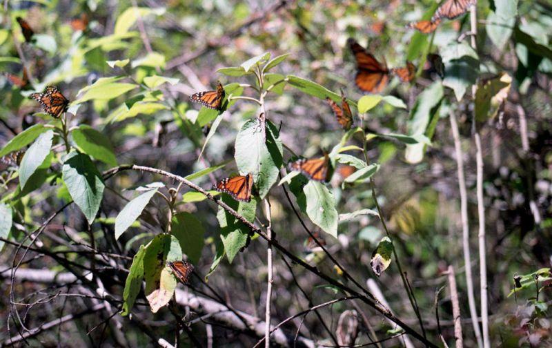 El efecto mariposa, monarcas sin corona, pero con mucho poder. - Mariposas
