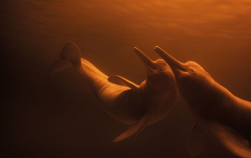 Ivan Mikolji - amazon-river-dolphins-ivan-mikolji