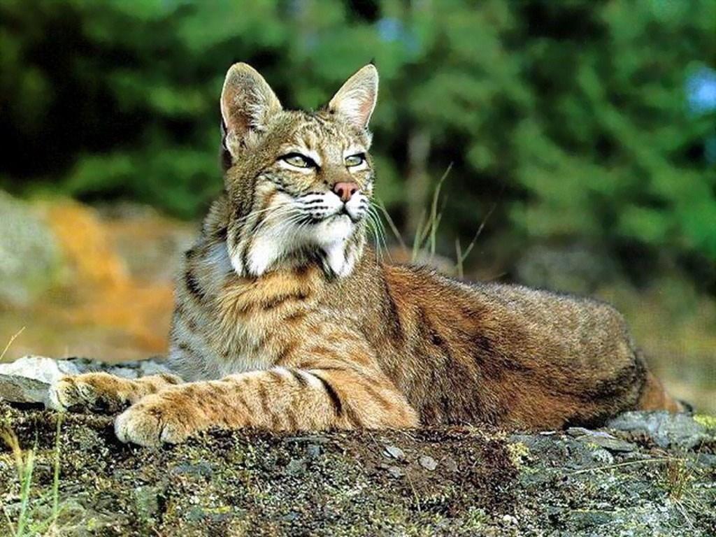 Animales endémicos de México - Animales endémicos de México. Gato Montes Mexicano