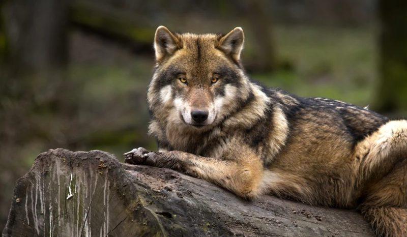 Animales endémicos de México - animales-endemicos-de-mexico-lobo-mexicano
