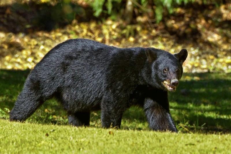 Animales que ya no se encuentran en peligro de extinción - black-bear-937037_960_720