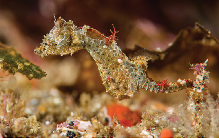 Científicos descubren una nueva especie de caballito de mar en Japón - caballito-de-mar-2