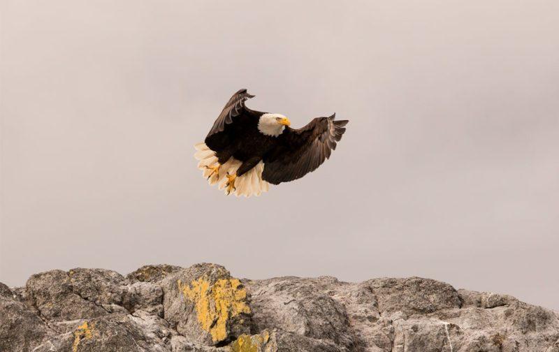 Bestiario Pardo, experiencias en los bosques del pacífico canadiense - aguila-animal-ave-volar-cielo