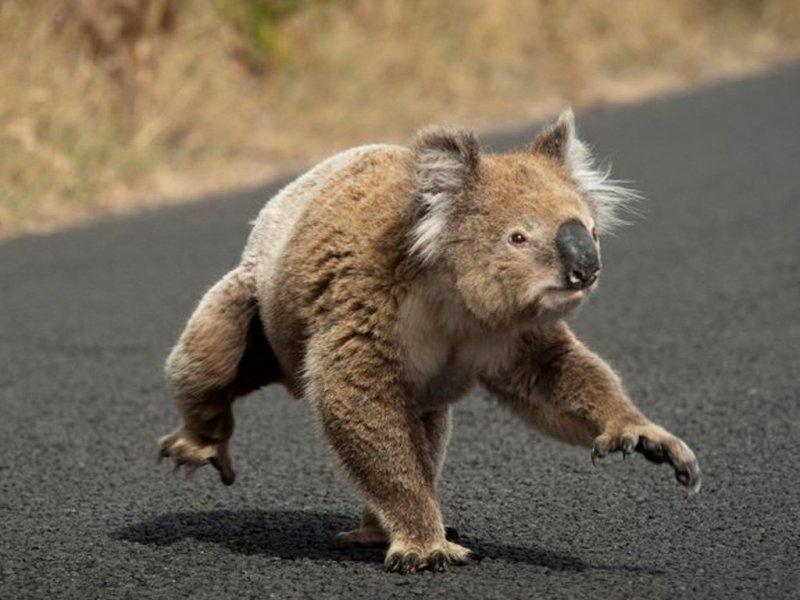 10 datos que probablemente no sabías sobre los koalas - koala-caminando