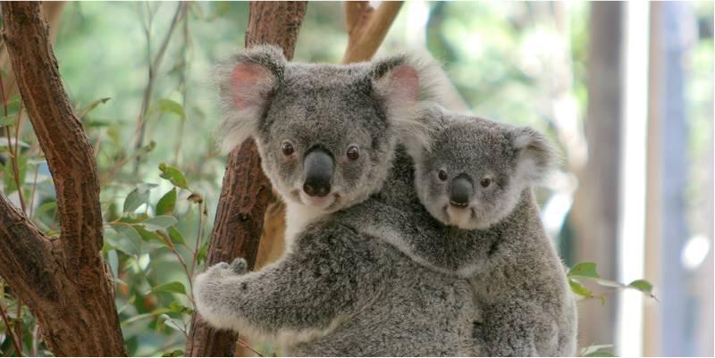 10 datos que probablemente no sabías sobre los koalas - Koalas PORTADA