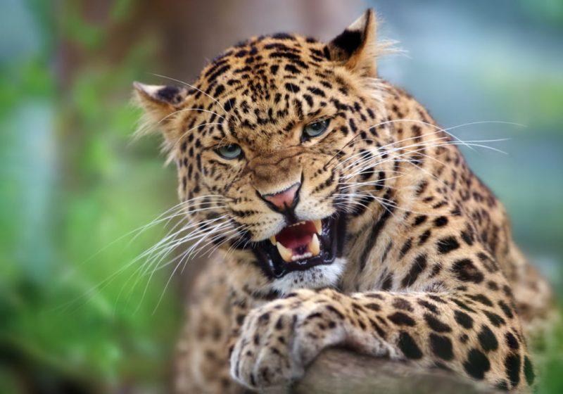 Datos que debes saber sobre los leopardos - leopardo-rugiendo