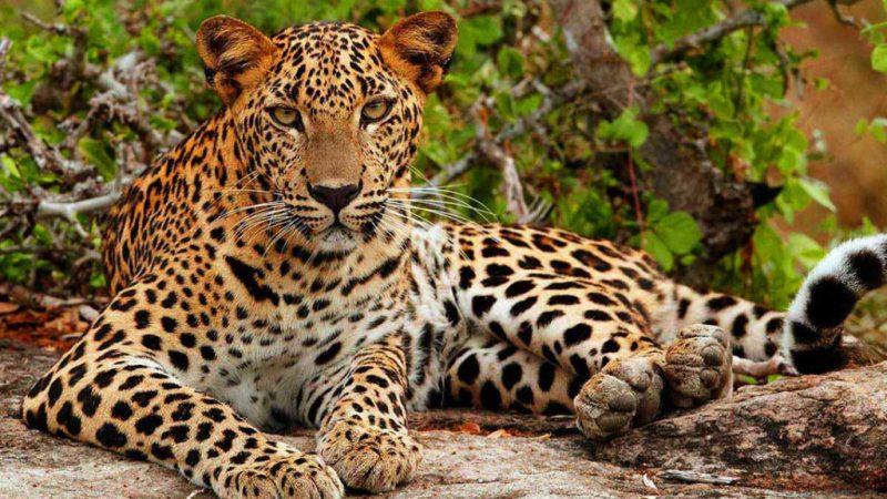 Datos que debes saber sobre los leopardos - leopardo-sentado