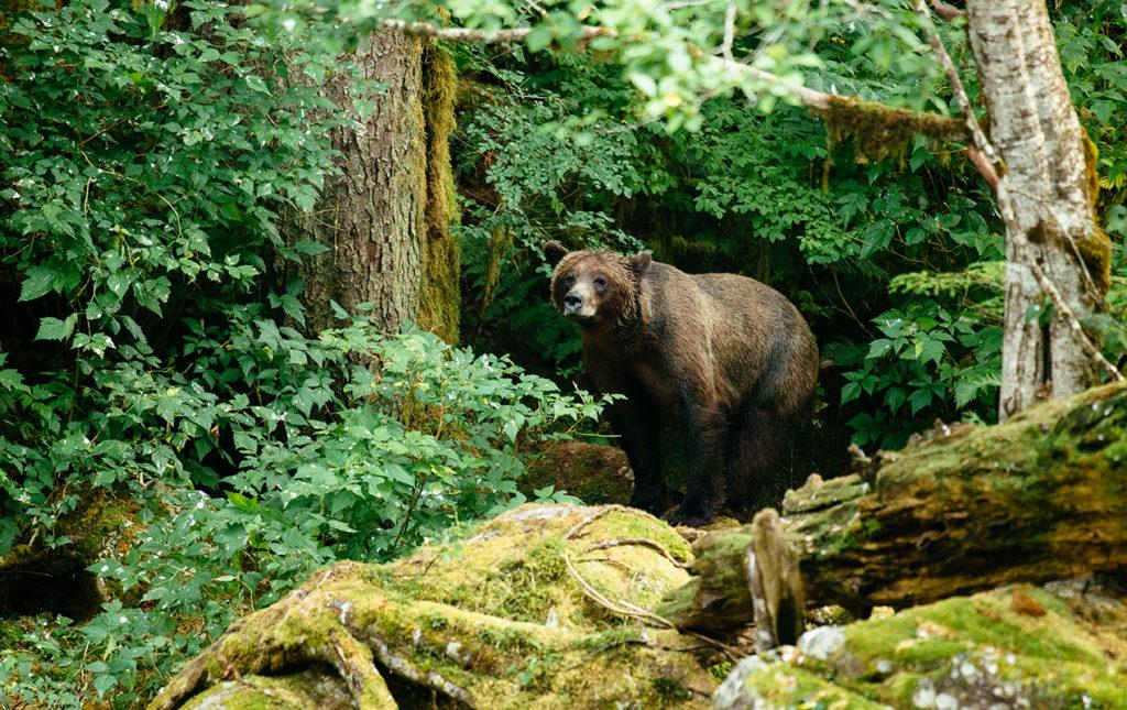 Bestiario Pardo, experiencias en los bosques del pacífico canadiense - portada grizzly bear oso café naturaleza animal