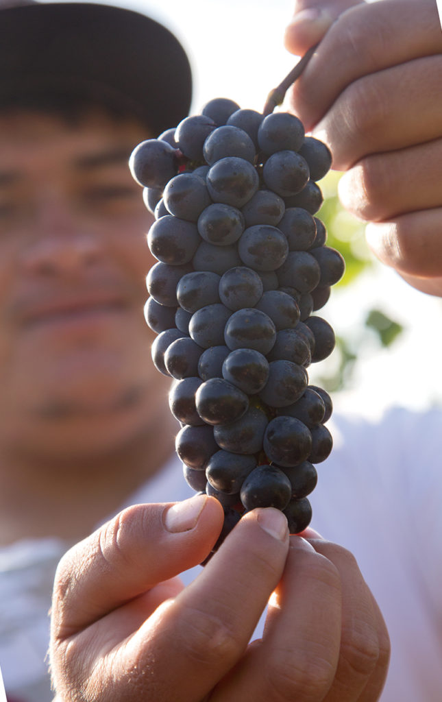 HOTabc: ingredientes de temporada - uvas-vincc83edo-cultivo