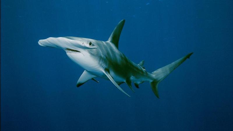 Datos que probablemente no sabías sobre los tiburones - datos-que-probablemente-no-sabias-sobre-los-tiburones-01