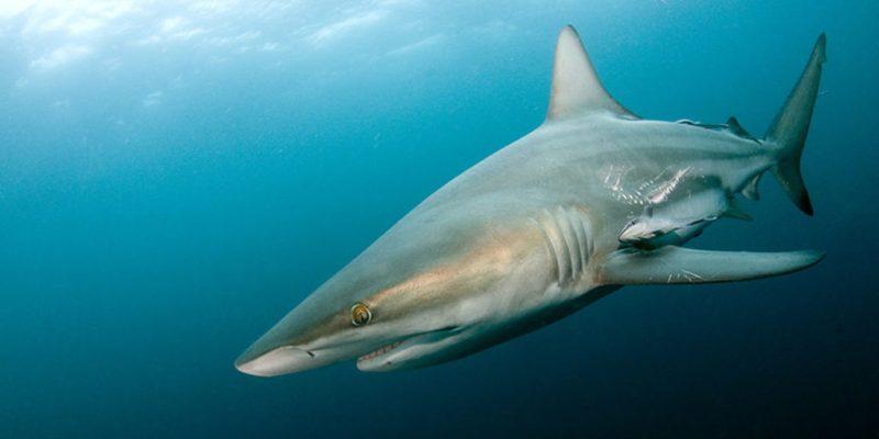 Datos que probablemente no sabías sobre los tiburones - datos-que-probablemente-no-sabias-sobre-los-tiburones-10