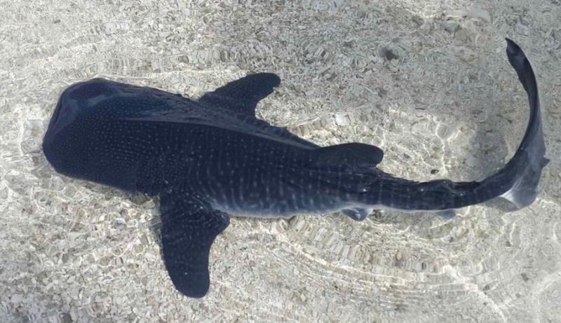 Datos que probablemente no sabías sobre los tiburones - datos-que-probablemente-no-sabias-sobre-los-tiburones-8
