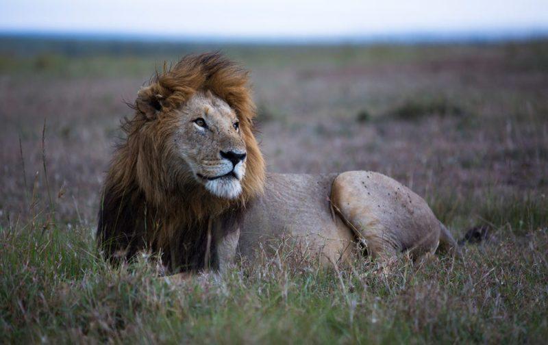 Viajes Planeta Azul, experiencias que marcan tu vida - leon-selva-animal-salvaje