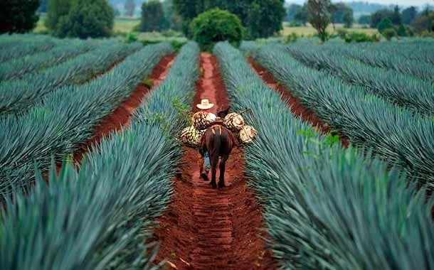 Los mejores road trips por México - roadtripsmexico_tequila