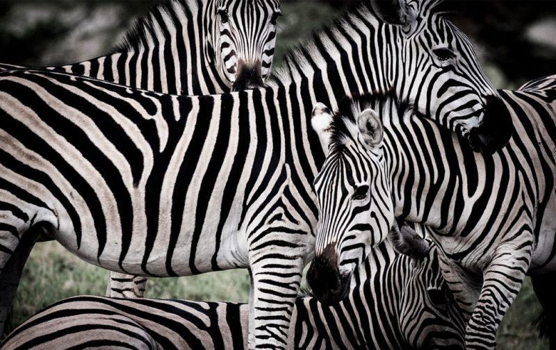 Un recorrido por África - mombo-africa-zebras-selva