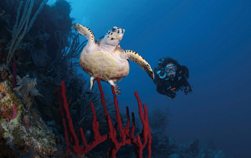 Esplendor caribeño: postales inmaculadas de Turcas y Caicos - buceo-buzo-tortuga-marina-mar-arrecife