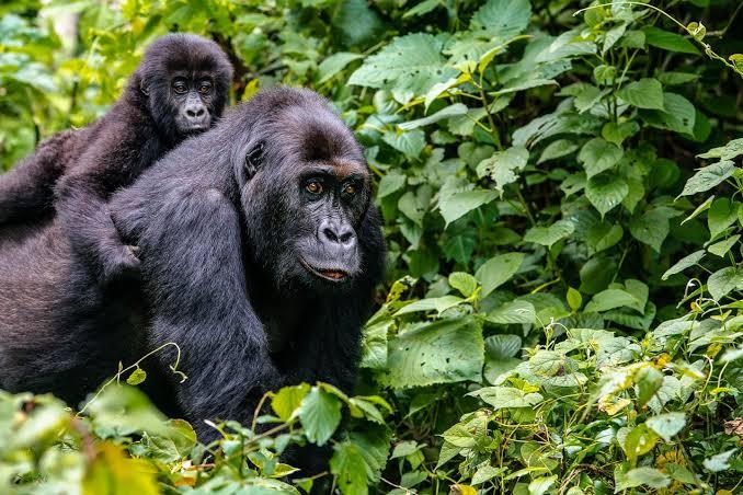 5 destinos imperdibles en África - gorilla-africa