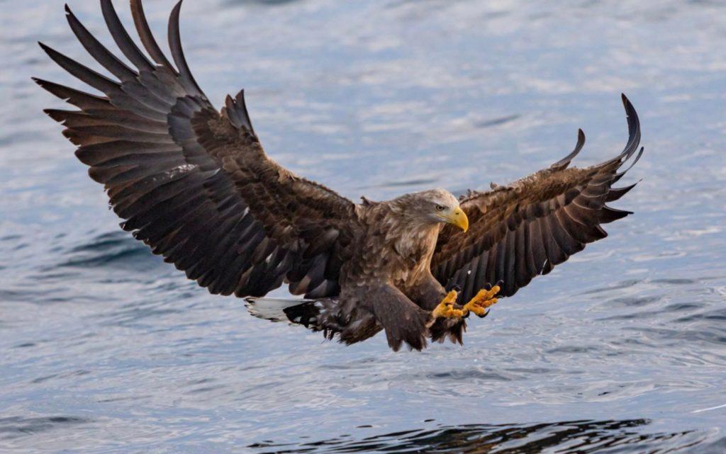 El águila de cola blanca es vista después de 240 años - 2. águila cola blanca PORTADA