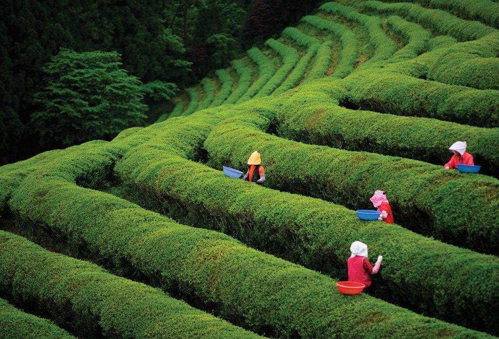 Recolección del té (Camelia sinensis)