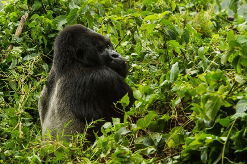 Conoce a los Gorilas de la Montaña en Rwanda - Gorila-de-la-montan%CC%83a