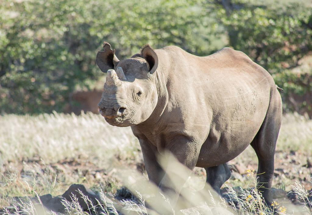 El rinoceronte del desierto