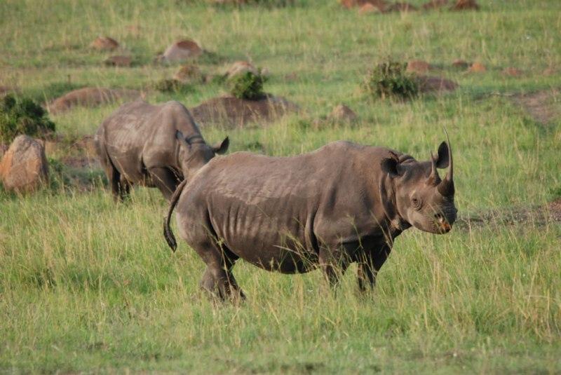 Safaris en Tanzania - Rhinos-Serengeti-nov17