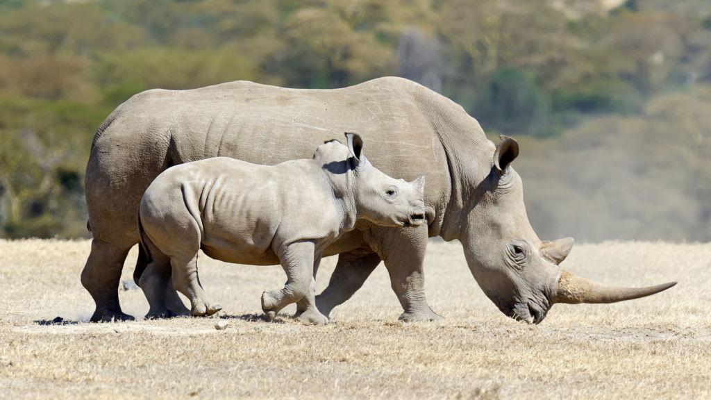 Una esperanza para el rinoceronte blanco del norte