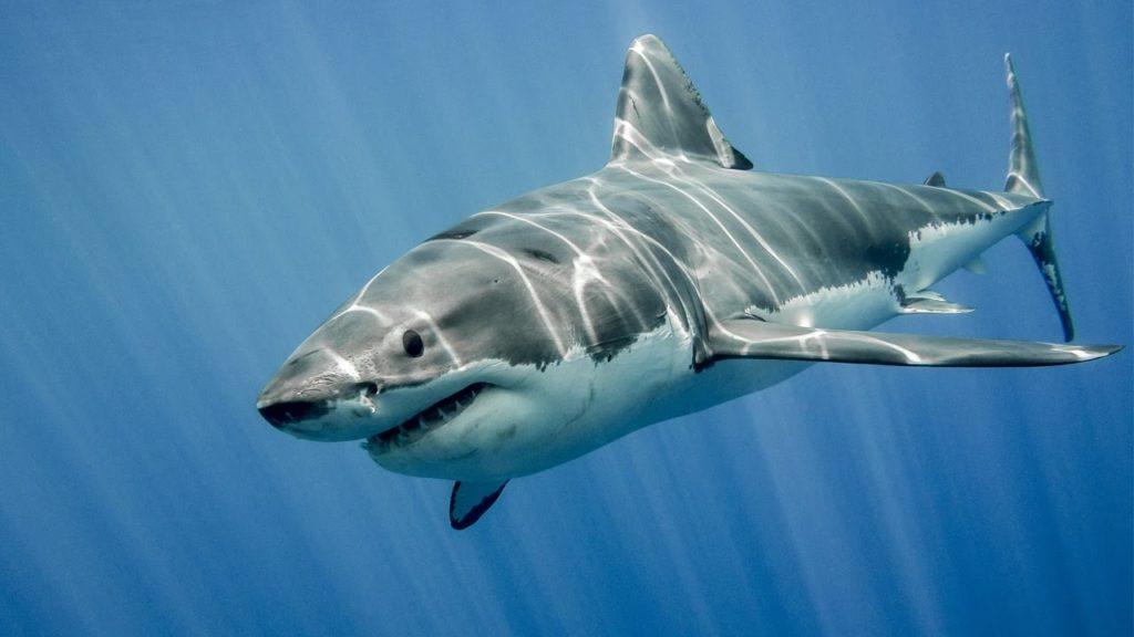 Datos que probablemente no sabías sobre los tiburones
