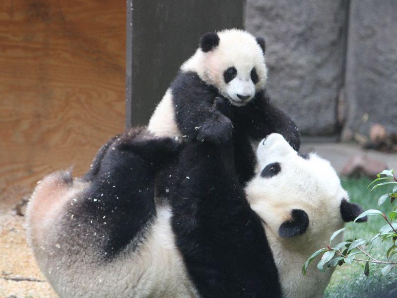 15 fotos que representan el cariño de mamá en la naturaleza - fotos-panda-fotos-que-representan-el-carincc83o-de-mama-en-la-naturaleza-zoom-dia-de-las-madres-10-de-mayo-coronavirus