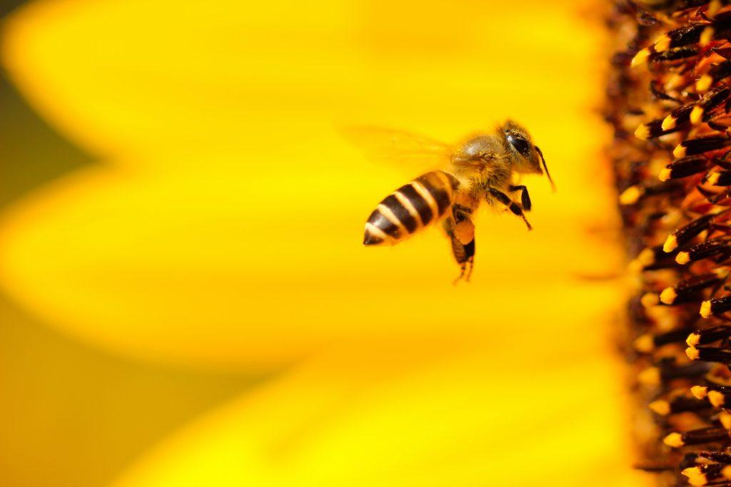 8 datos curiosos sobre las abejas