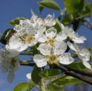fleur du cerisier - hôtel Au Relais de l'Ill