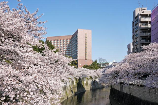 FS椿山荘_神田川の桜