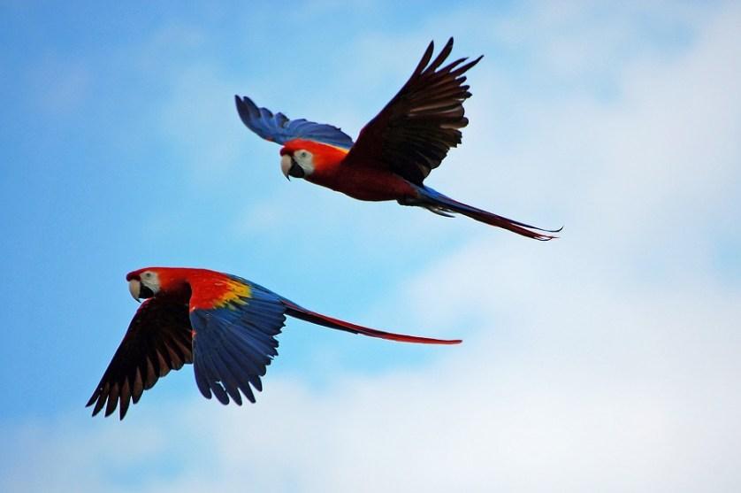imagem-de-duas-araras-voando