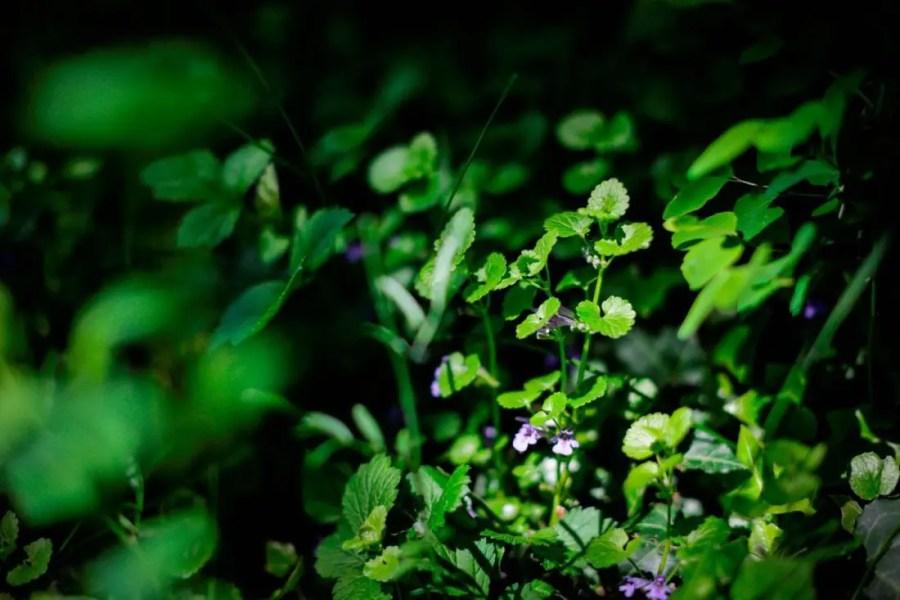 Lierre-terrestre,-Glechoma-Hederacea---Atelier-Saveurs-&-Nature---Les-Etangs-de-Corot
