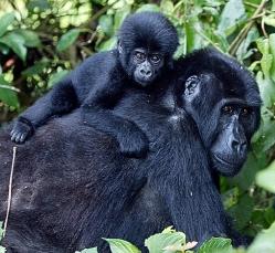 gorilla-safaris