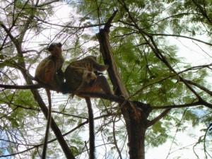 lemur trecicogne 1