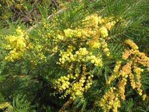 Australian acacia in bloom