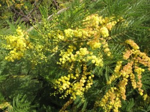 Hot Gardens Newsletter About Australian Plants And Trees For Us